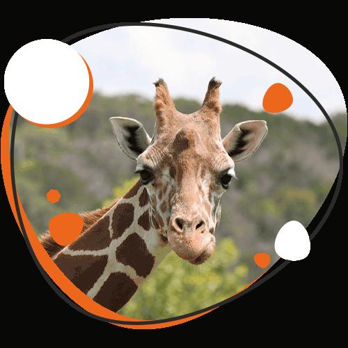 Image of giraffe at Natural Bridge Wildlife Ranch, Cibolo TX
