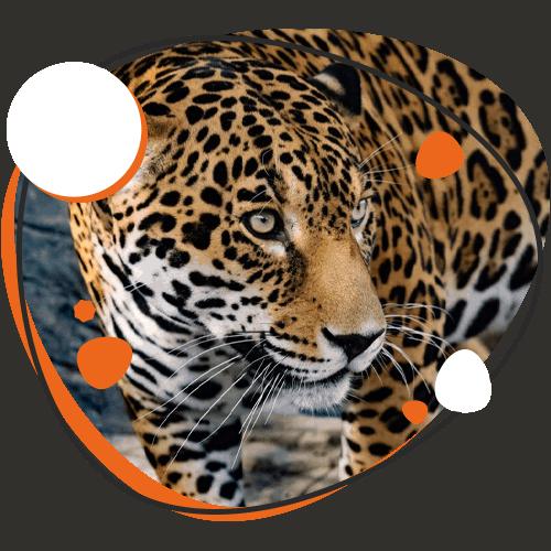 Image of Cheetah at Animal World and Snake Farm, Cibolo TX
